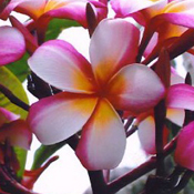 Beautiful Lani Beauty plumeria hybrid