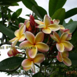 Plumeria in full bloom