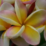 Plumeria Nebels - Fragrance Sweet.