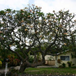 Massive plumeria tree