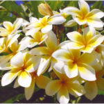 Our Celadine plumeria. Fragrance is Orange Blossoms