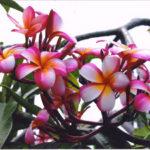 Plumeria Lani Beauty Hybird