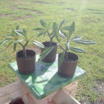 8 Weeks and the plumeria is fully rootted