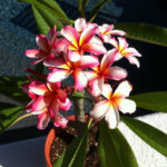 Small pot plant equals a small plumeria.  Size of pot = Size of plant