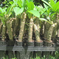 All of our plumeria cuttings are easy to root.