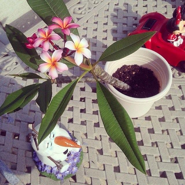 Epcot Just Plumeria