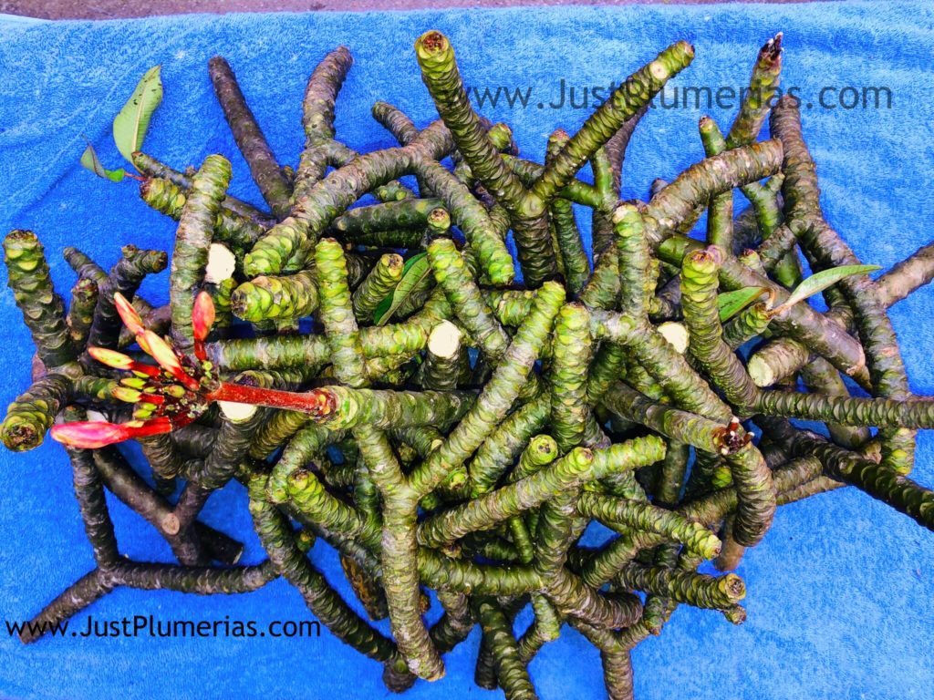 plumeria cuttings for sale Just Plumeria
