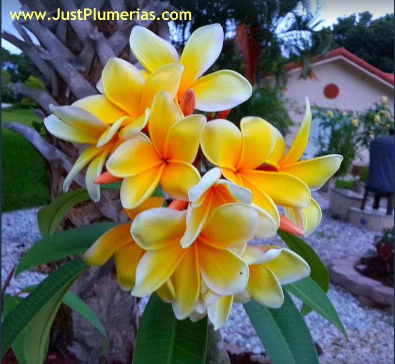 Plumeria Celadine